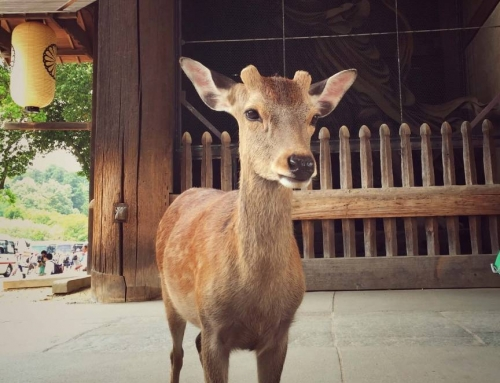 Japonsko: Nara, mesto posvätných jeleňov a drevených chrámov